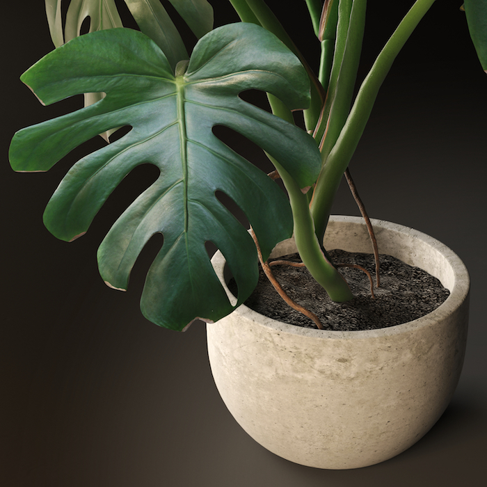 ein großes Blatt von Monstera in keramischen Topf - Zimmerpflanzen für wenig Licht