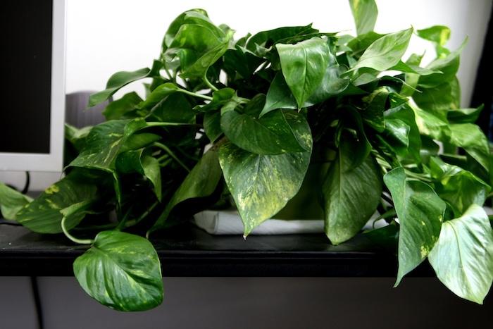 Efeututen auf dem Schreibtisch ganz schön und grün - Zimmerpflanzen für wenig Licht