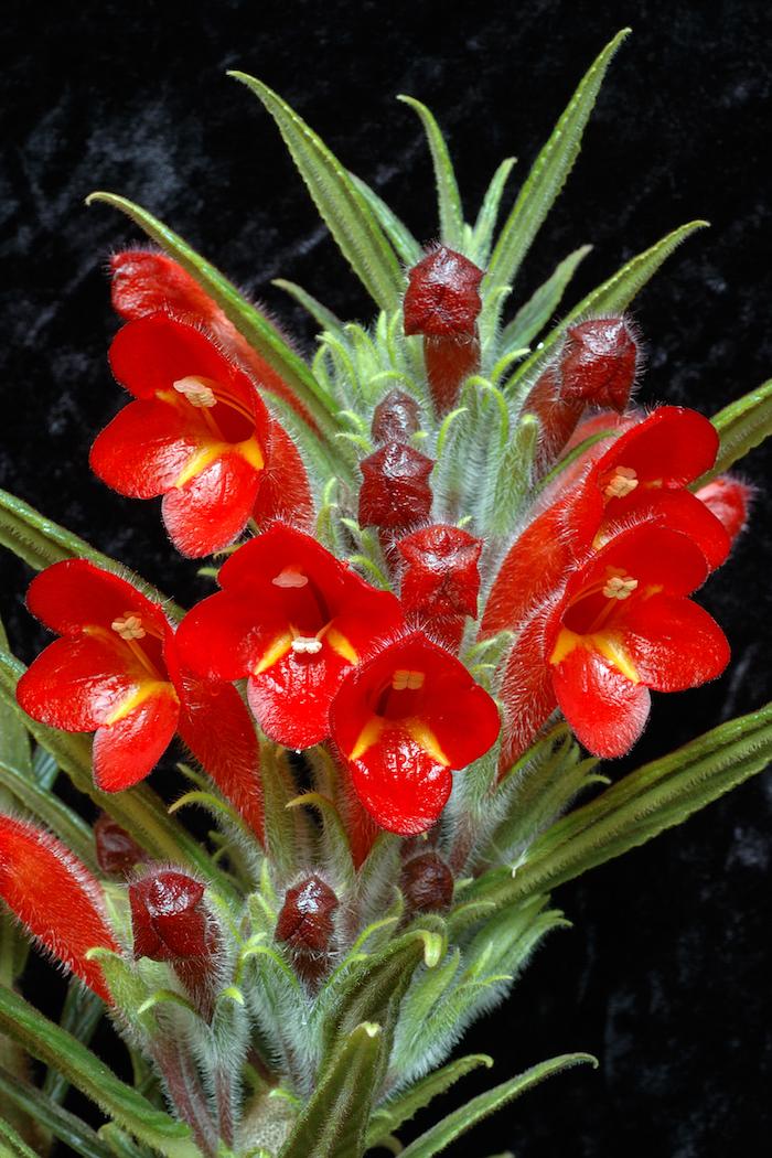 rote Pflanzen, die wenig Licht brauchen wie Munde und scharfe grüne Blätter