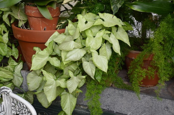 Pflanzen für dunkle Ecken Pfeilblatt als hängende Pflanze ganz schön und hellgrün