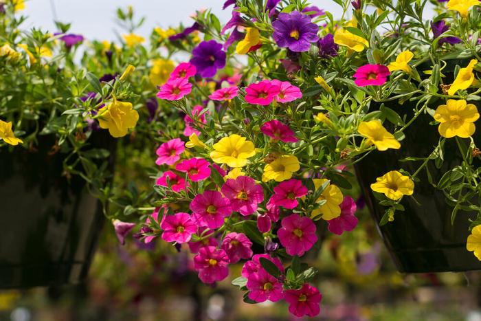 die Terrasse bepflanzen- nützliche Tipps und Ideen, bunte Petunien sorgen für eine frische Atmosphäre