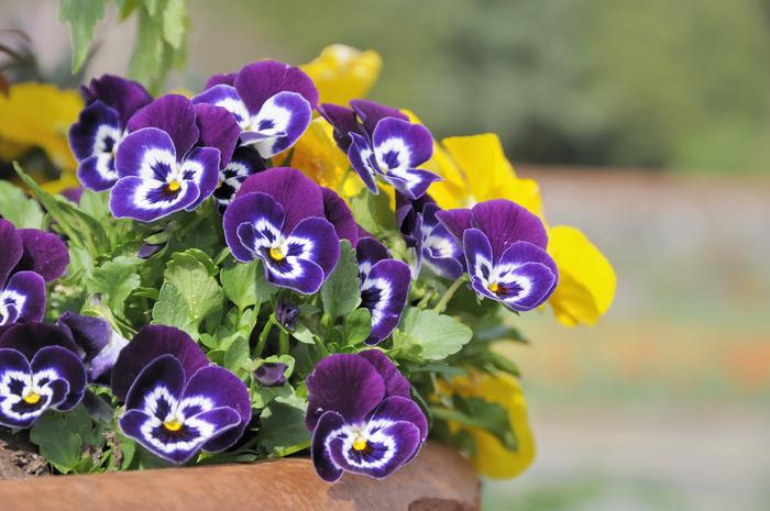 Blumentopf mit Veilchen, den Balkon bepflanzen und dekorieren, bunte und frische Ideen