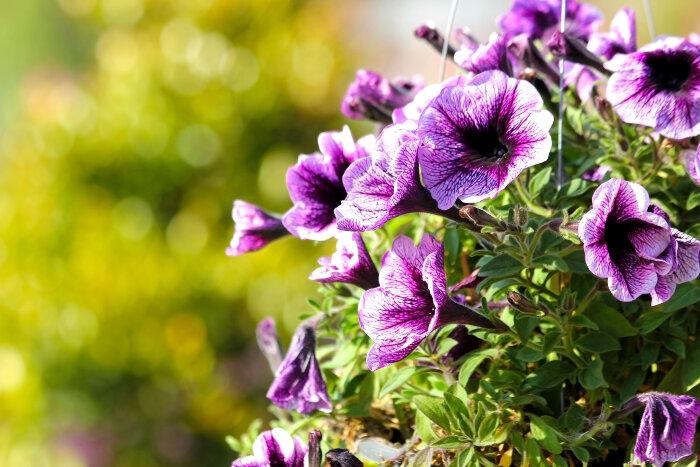die Terrasse bepflanzen- nützliche Tipps und Ideen, lila Petunien, große Blüten
