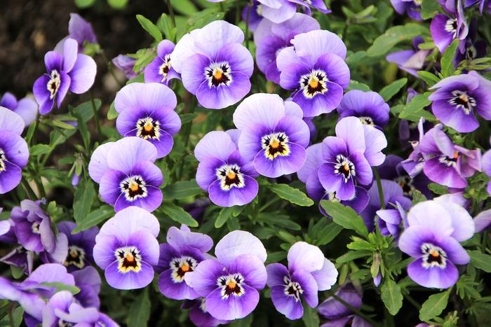 Lila Veilchen, wunderschöne Balkonpflanzen für jedes Zuhause, traumhafte Atmosphäre auf dem Balkon kreiieren
