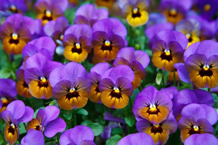 kleine Veilchen in Lila und Orange, schöne Pflanzen für den Balkon, den Balkon bepflanzen und dekorieren