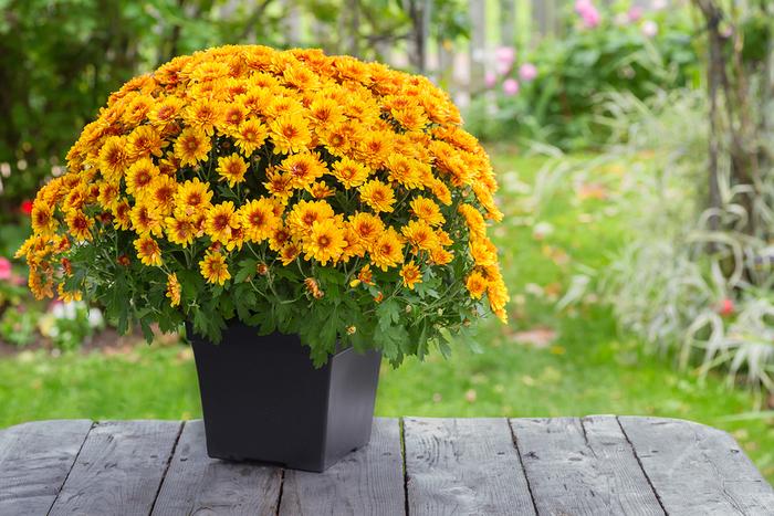 gelbe Chrysantheme, wunderschöne Herbstblumen für Ihren Balkon oder Garten