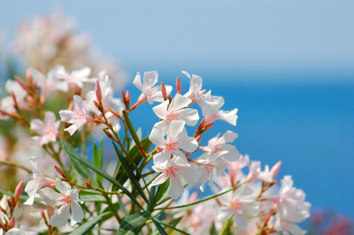 Oleander pflanzen, zarte hellrosa Blüten, schöne Ideen für Balkonbepflanzung
