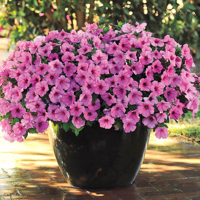 rosa Petunien, viele Blüten, wunderschöne Atmosphäre auf dem Balkon/ im Garten schaffen
