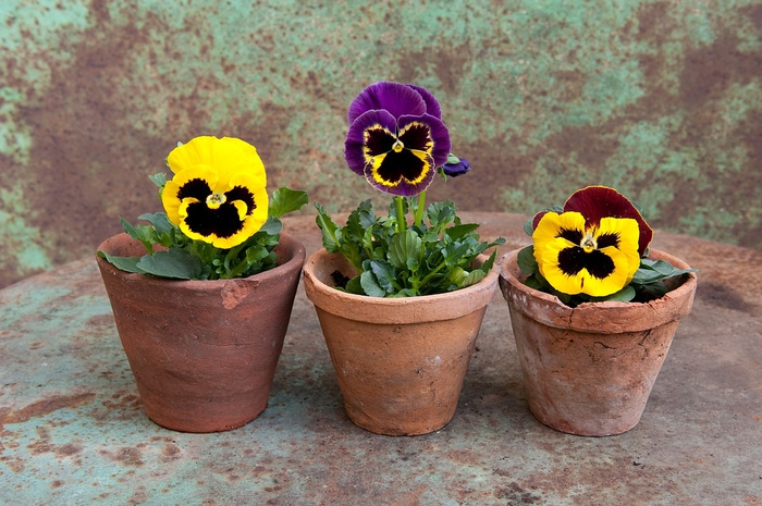 Drei Veilchen in Lehm-Blumentöpfen, wunderschöne Balkonpflanzen für jedes Zuhause