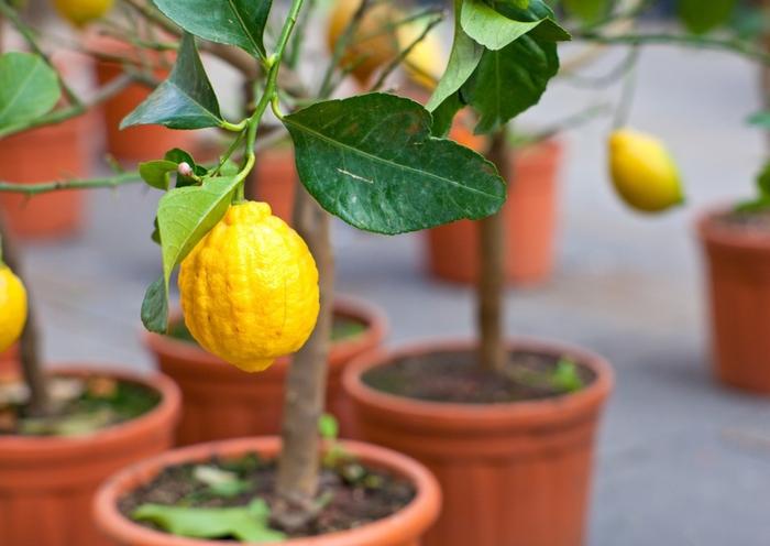 Zitronenbaum auf dem Balkon oder im Garten züchten, tolle Ideen für Balkonbepflanzung