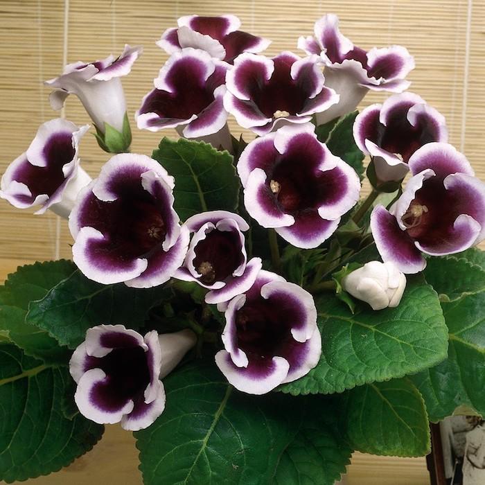 Pflanzen für dunkle Ecken schöne lila Blüten mit Weiß an den Ränder fast geblühte Blüten
