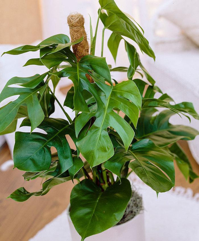 grüne Pflanze mit einer Stock zu wachsen - Pflanze für dunkle Ecken