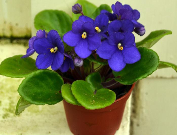 die Saintpaulia ist sehr schön mit seinen lila Farben Pflanzen für dunkle Ecken