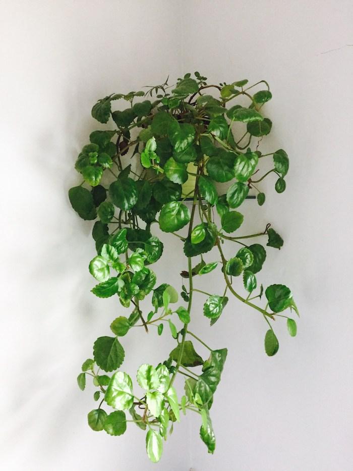 Efeu die beste hängende Pflanze für Ihr Zimmer - Zimmerpflanzen schattig