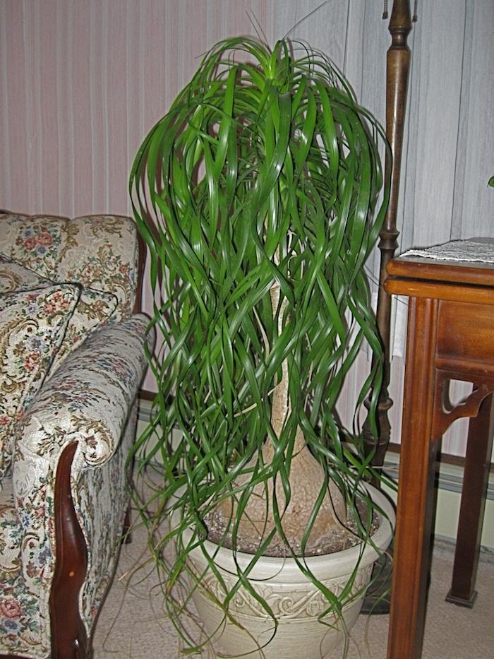Elefantenfuß großer Baum im Wohnzimmer zwischen Sofa und Tisch Zimmerpflanzen schattig