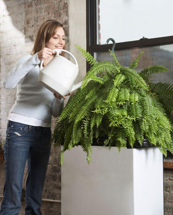 gießen SIe regelmäßig Ihren Farn, sehr große Pflanzen Zimmerpflanzen schattig
