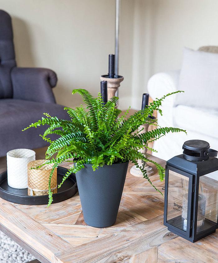 Farn ist würdig für das Wohnzimmer in der Mitte vom Tisch - Zimmerpflanzen schattig