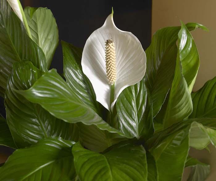 Pflanzen, die wenig Licht brauchen Friedenslilie mit einer Blüte