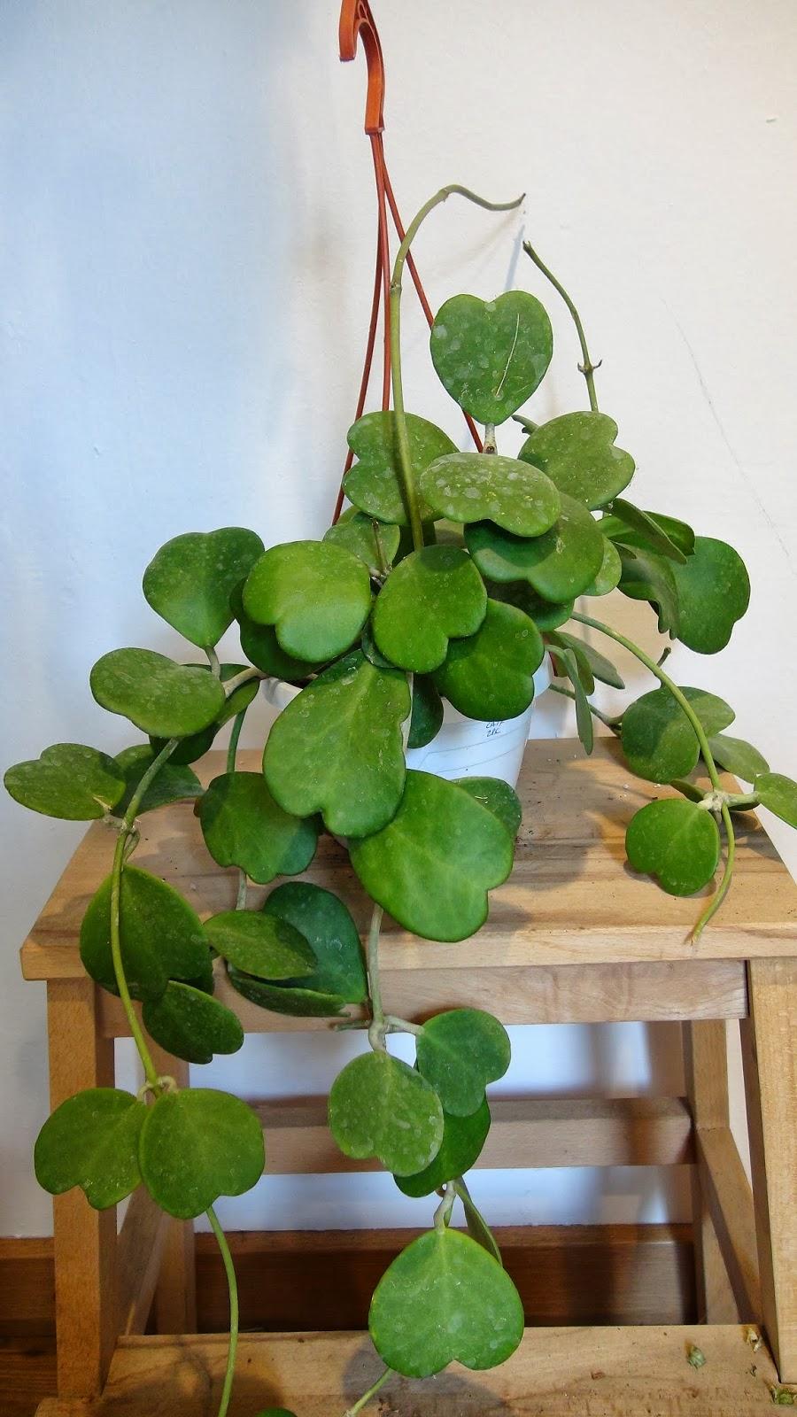 Zimmerpflanzen schattig Herzblatt in einem weißen Blumentopf viele Blätter