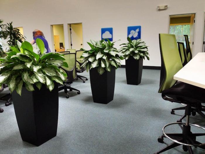 drei Blumentöpfe im Büro mit wenig Licht Zimmerpflanze für dunkle Räume Aglaonema