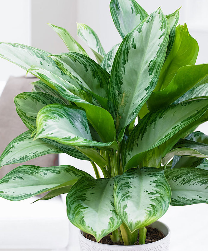 Zimmerpflanzen für dunkle Räume Aglaonema in weißem Blumentopf ein Überblick
