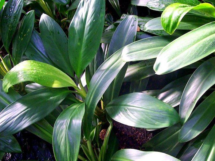 Zimmerpflanzen für dunkle Räume Aglaonema auf dem Markt und im Sonne