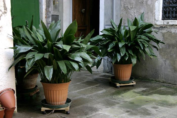 zwei große Blumentöpfe mit großen Aspidistra im Hinterhof Pflanze für dunkle Räume