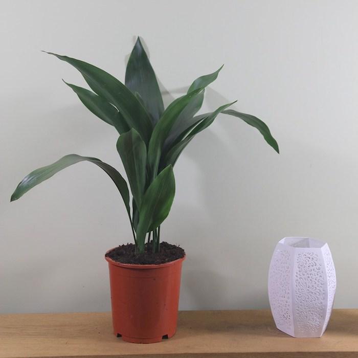 Aspidistra Zimmerpflanze für dunkle Räume ein oranger Blumentopf weiße Vase auf Holz