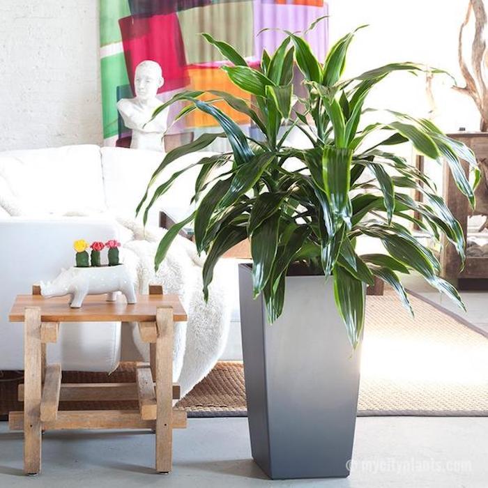 Drachenbaum im Wohnzimmer als Teil der Dekoration - Zimmerpflanze für dunkle Räume