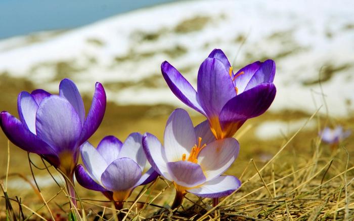 Lila Krokusse, wunderschöne Frühlingsboten. Schnee als Hintergrund, Natur genießen