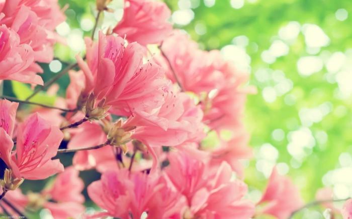 rosafarbene Azalee, große. wunderschöne Blüten, Bilder und Informationen zum Thema Blumenarten