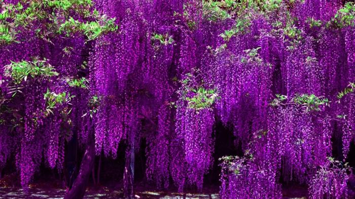 Blumenarten von A bis Z, Blauregen, exotischer Look, lila Blüten, Meer aus Blüten, wunderschön