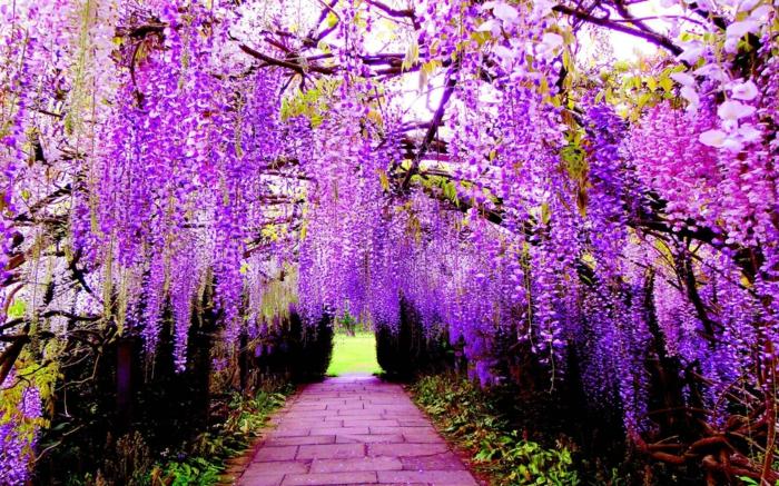 Blumenarten von A bis Z, schöne Bilder und Informationen, Blauregen, lila Blüten