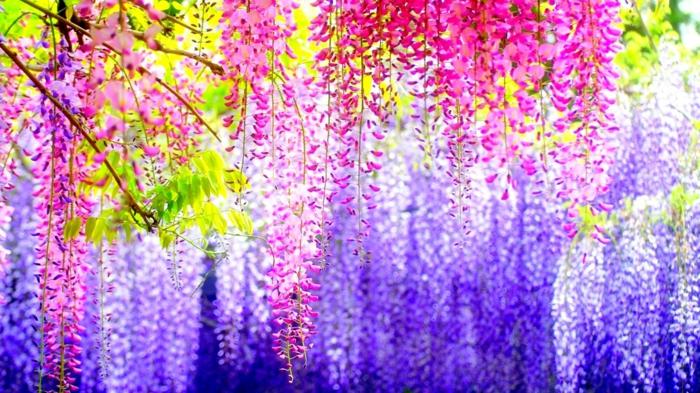vielfältige Blumenarten, lila und rosafarbene Blüten, Blauregen pflanzen und richtig pflegen