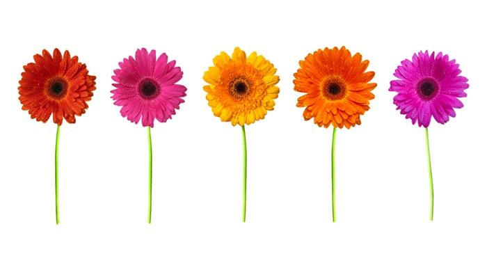 Gerbera in verschiedenen Nuancen, weißer Hintergrund, schöne Hintergrundbilder für Blumenliebhaber