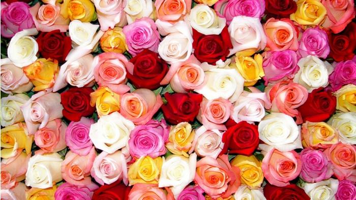 tolles Hintergrundbild mit Rosen, zahlreiche Nuancen, die Königin unter Blumen, Blumenstrauss aus Rosen