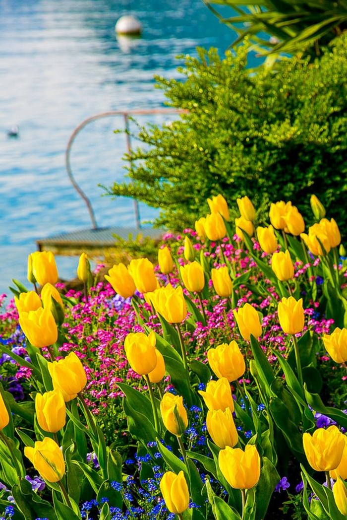 schönes Landschaftsbild, gelbe Tulpen, See im Hintergrund, Bilder und Informationen zum Thema Blumenarten