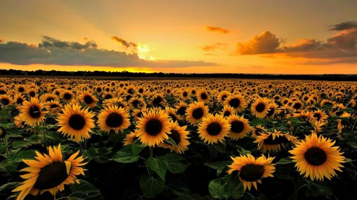 schönes Landschaftsbild, zahlreiche Sonnenblumen, Sonnenuntergang, Liste mit Blumenarten