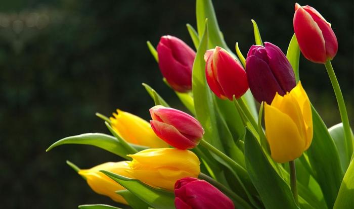 tolles Hintergrundbild für Tulpenliebhaber, Tulpen in verschiedenen Nuancen, gelb, rosa, weinrot