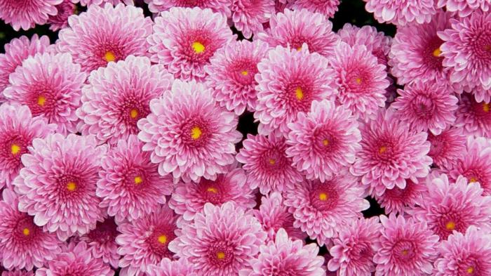 rosafarbene Chrysanthemen, viele Blüten, schöne Herbstblumen, Hintergrundbilder für Blumenliebhaber