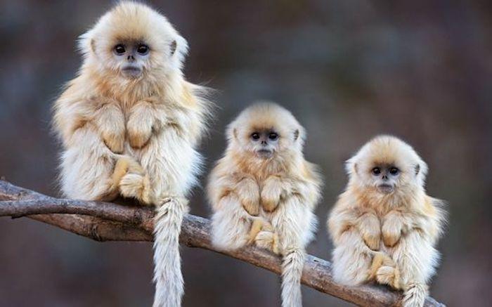 drei süße Affen sitzen ruhig auf einem Zweig, hängende Schwanz, schwarze Augen