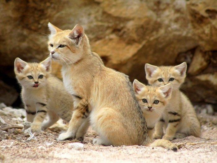 Wüstenkatzen, Felis margarita, süße Katzen mit braunem Pelz, Sand