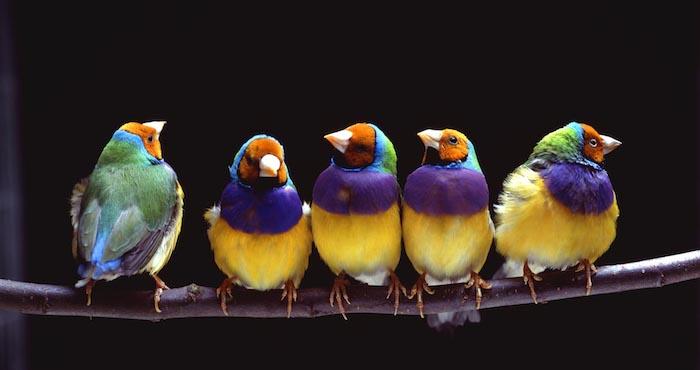 fünf kleine Vögelchen mit bunten Federn, orange Gesichter, weiße Schnäbel