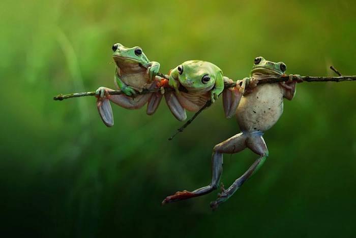 Harfian Herdi A Rais Bilder, drei kleine Frösche, die auf einem Zweig hängen