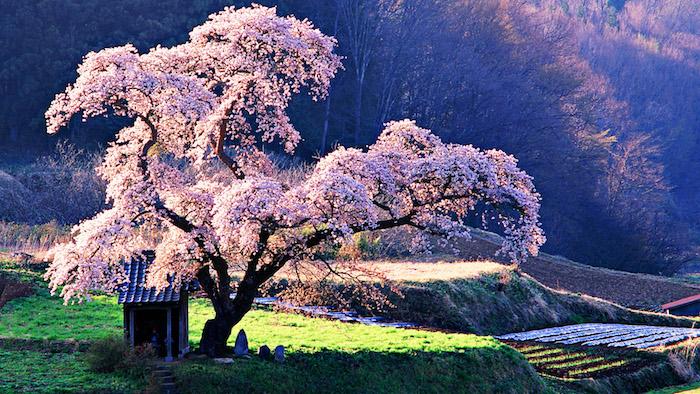 ein riesiges Kirschbaum und ein kleines Haus darunter, eine Frau und zwei Kinder