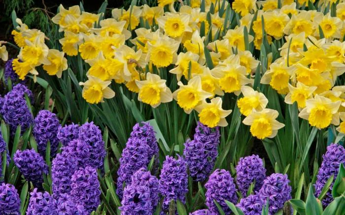 prachtvolle Frühlingsblumen, Narzissen und Hyazinthen, Farbenkontrast, Hintergrundbilder für Blumenliebhaber