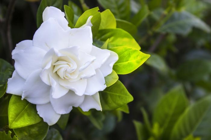 Gardenia pflanzen und richtig pflegen, Blumenarten von A bis Z, große, weiße Blüte