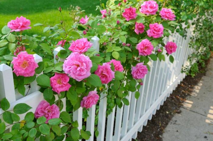 garteninspirationen, weißer gartenzaun, holzzaun dekoriert mit rosa rosen
