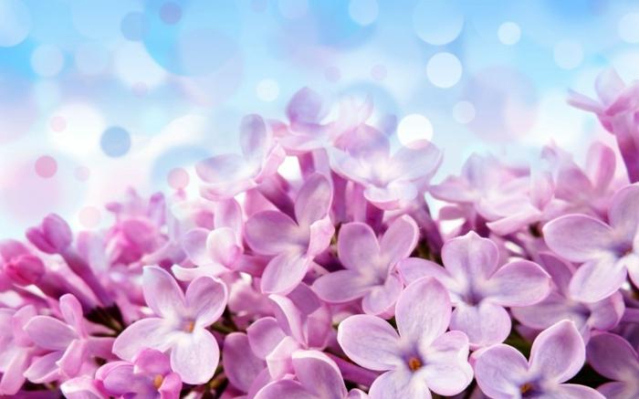 Hyazinthe, eine der schönsten Frühlingsblumen, rosafarbene Blüten, Hintergrundbild für Frühlingsstimmung