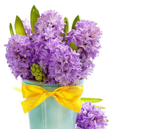 Hyazinthenstrauss, lila Blüten, mit gelbem Geschenkband verziert, prachtvolle Frühlingsblumen